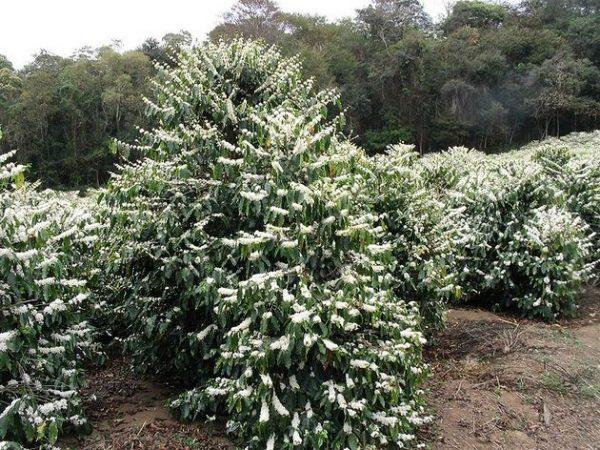 Деревья кофе арабика
