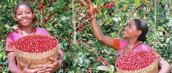 История кофе: Эфиопия, народ оромо